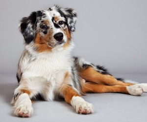 aussie, beautiful, and dog image