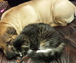 cat, curled up, and dog image