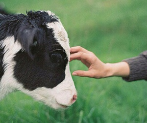 animal, cow, and nature image