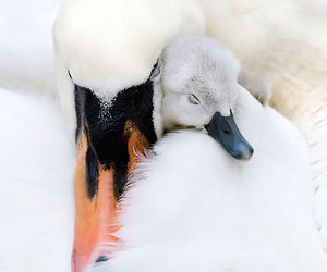 Swan, white, and animal image