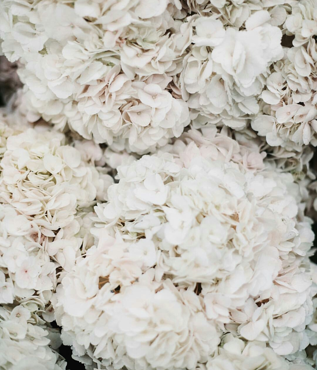 White Hydrangea Wallpaper Discovered By Ria Kejriwal