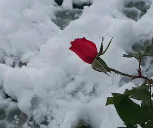 snow, winter, and little rose image