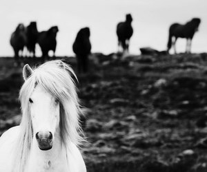 black, horse, and white image