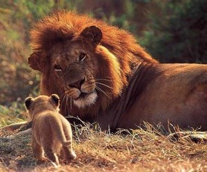 wild and lion image