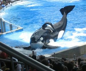 orca, seaworld, and tilikum image