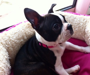 animal, black, and boston terrier image