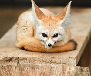 fox and animal image