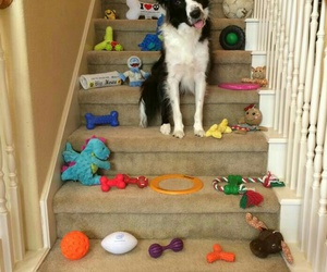 border collie, dog, and toys image