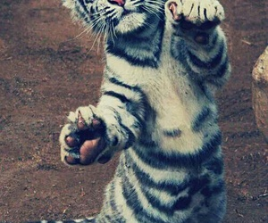 sweet, tiger, and cute image