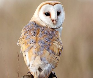 barn owl, pretty, and bird image