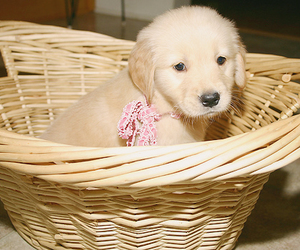 animal, golden retriever, and doggy image