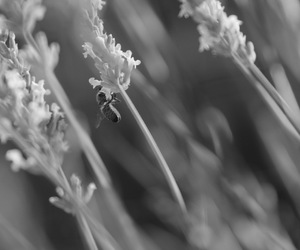 and, blackandwhite, and lavendel image