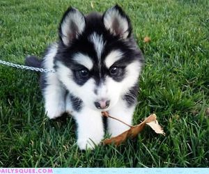 aww, black, and husky image