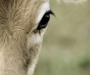 photography, animals, and cow image
