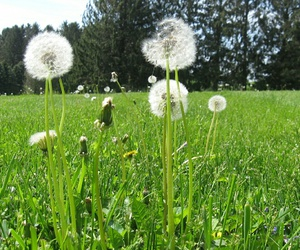 dandelion, field, and green image
