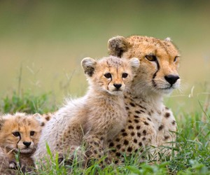 animal, cat, and cheetah image
