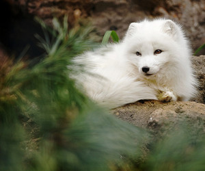 adorable, arctic fox, and bushes image