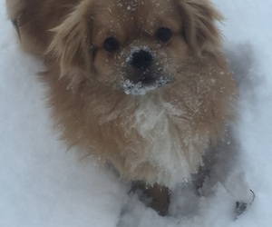 puppy, snow, and spaniel image