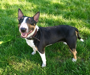 bullterrier, smiling, and dog image