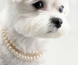 dog, white, and pearls image