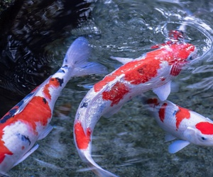 koi and carp image