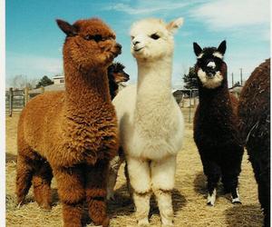 animal, alpaca, and llama image