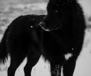 animal, black, and wolf image