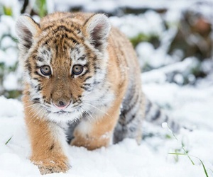 snow, animals, and tiger image