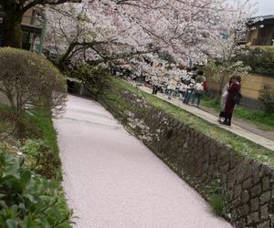 cherry tree, pink, and sakura tree image