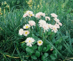 daisies, daisy, and green grass image