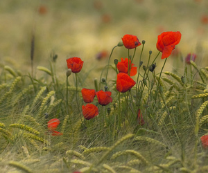 amapolas, europe, and flores image