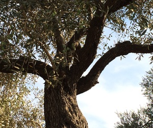 my photography, tree, and olive tree image