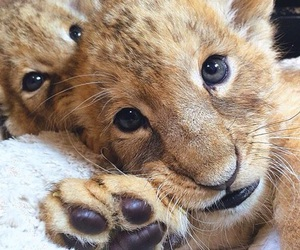 lion, animal, and baby lions image