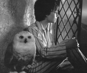 harry potter, hedwig, and owl image