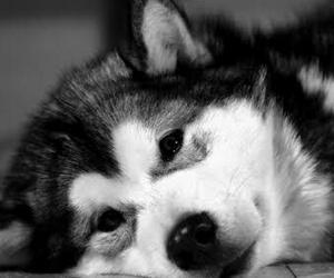 husky siberiano image