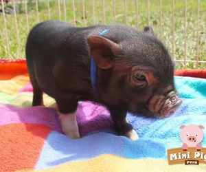 little, pet, and pig image