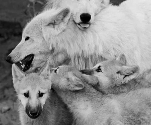 wolf, animal, and family image