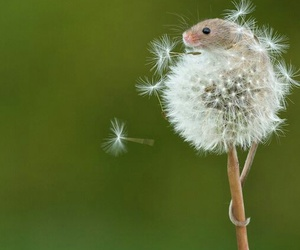 dandelion, dry, and mouse image