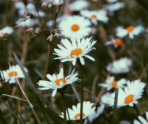 beautiful, daises, and flores image