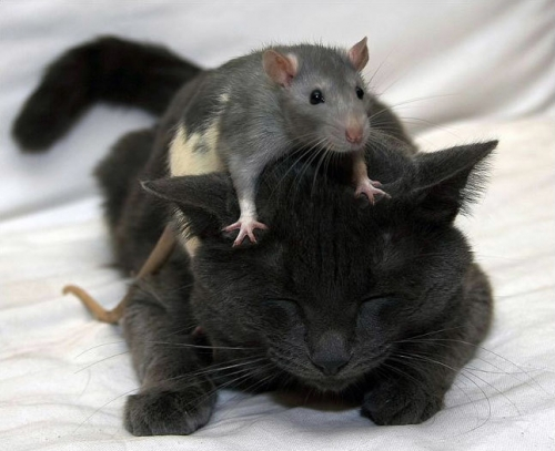 cat, mouse, and animal image