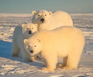 ice, Polar Bear, and snow image