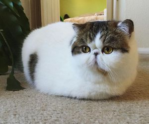 cat, exotic, and fluffy image