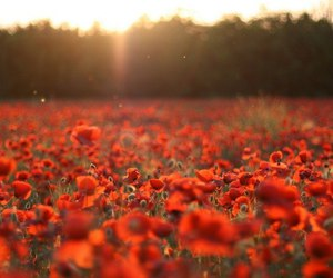 poppy, flowers, and red image