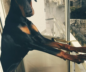 dobermann, dog, and weheartit image