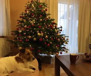 christmas, Christmas time, and jack russel terrier image