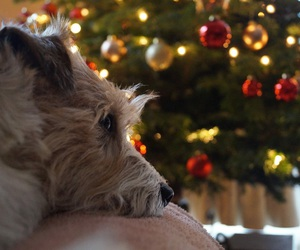 christmas and jack russel terrier image