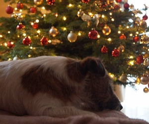 christmas, jack russel terrier, and tree image