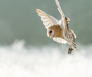 beautiful, bird, and owl image