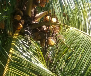 coconuts, sunny day, and yellow coconuts image