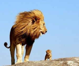 baby, cub, and lions image